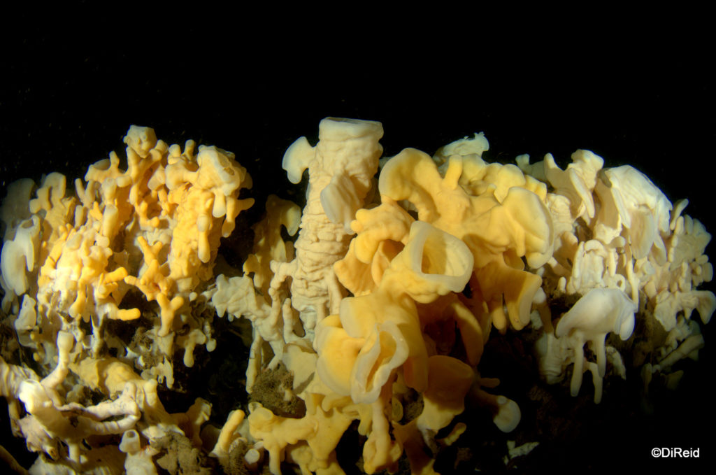 Glass sponge reefs